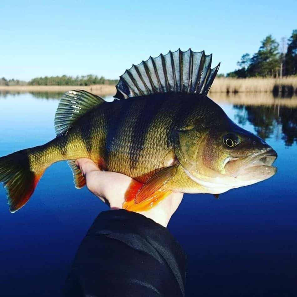 perch black bars
