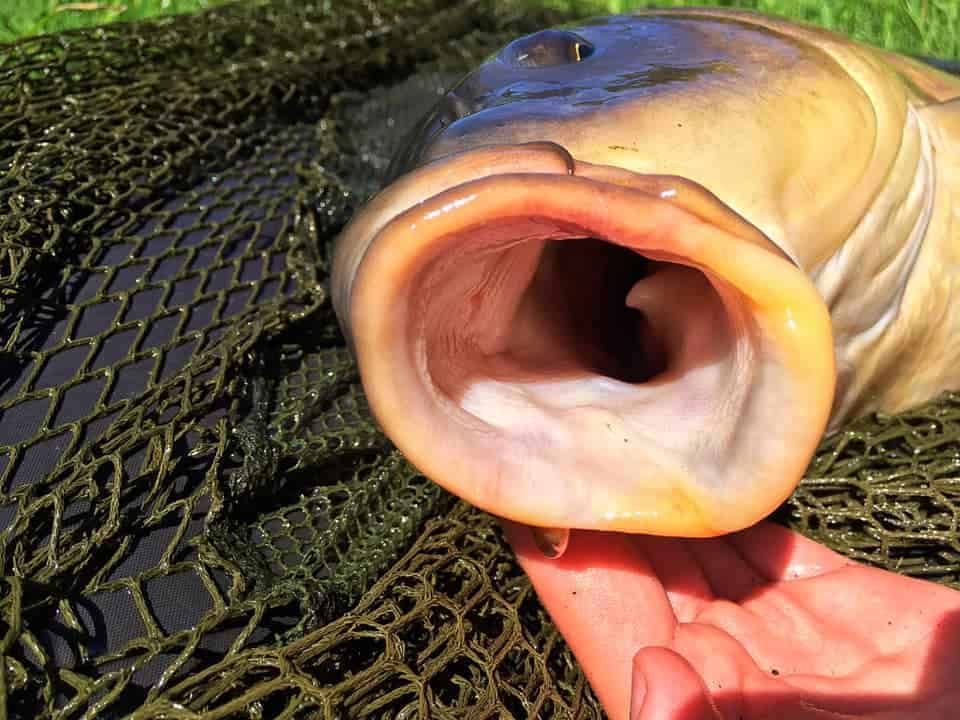 carp teeth